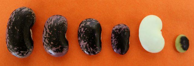 紫花豆Lサイズ、Mサイズ、Sサイズ、SSサイズ、白花豆、鞍掛豆