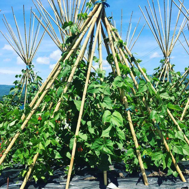 ツタを伸ばす花豆の様子